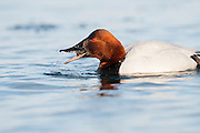 Canvasback, Aythya valisineria, male feeding on Quagga mussles, Dreissena rostriformis bugensis, St. Clair River, Michigan