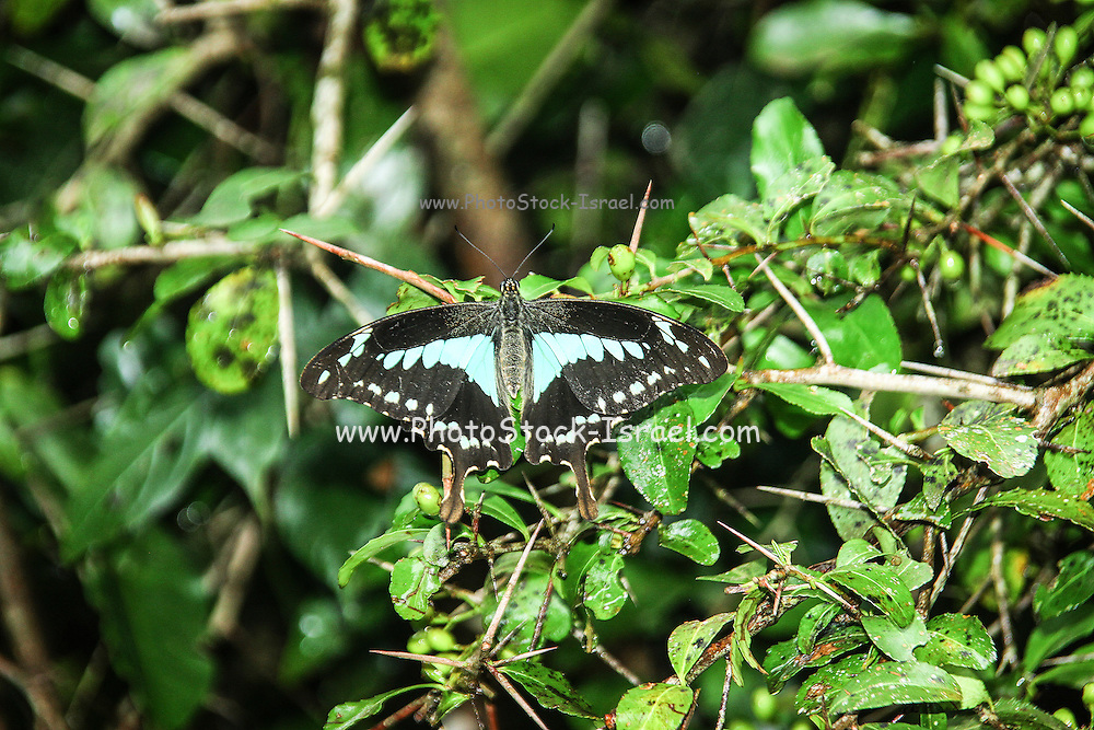 Broadly Green-banded Swallowtail, (Papilio chrapkowskoides also Papilio bromius) Photographed in Tanzania