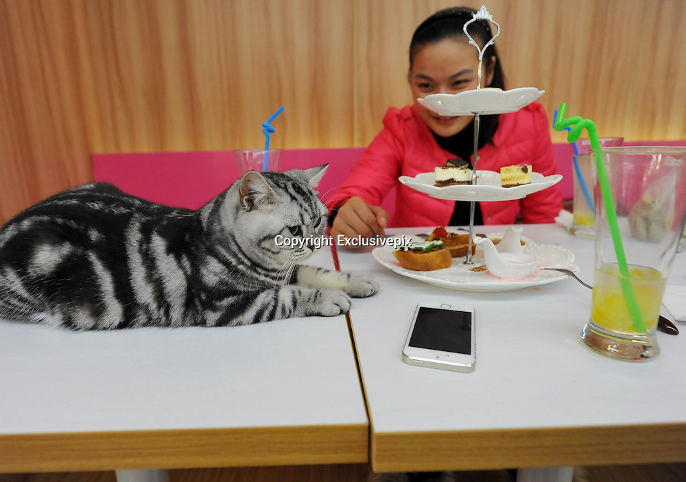 NANJING, CHINA - JANUARY 08: China Out - Finland Out<br /> <br /> Cats Cafe <br /> <br /> A cat is seen at a cats cafe on January 8, 2014 in Nanjing, Jiangsu Province of China. This is the first 'cat cafe in Nanjing, where customers can enjoy a drink while playing with cats. <br /> &copy;Exclusivepix