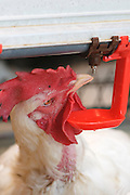 Rooster drinks from a feeding nipple in a chicken breeding coop Photographed in Kibbutz Maagan Michael, Israel