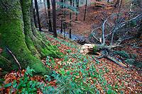 Autumn's colours in Carpathian beech forest, Bieszczady National Park, Poland