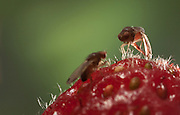 A male spotted wing fruit fly (left) approaches a female on a fresh strawberry. An introduced pest species in North America, the spotted wing fruit fly (Drosophila suzukii) feeds and breeds on fresh berries such as rasberries, strawberries and cherries – unlike most fruit flies that infest decaying and rotting fruit. Drosophila suzukii however is a substantial pest for berry farmers.