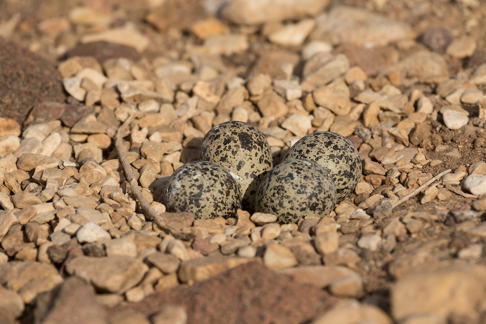 Spur winged Plover Vanellus spinosus eggs on side of road near saltpans, Israel