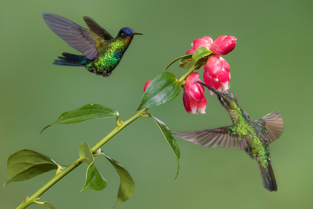 fiery-throated hummingbird (Panterpe insignis) and female Magnificent hummingbird  (Eugenes fulgens), Costa Rica