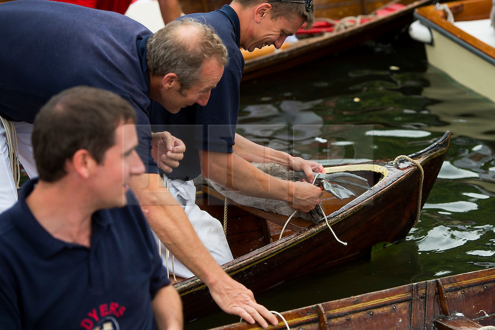 © Licensed to London News Pictures. 20/07/2015. A cygnet having its legs tied. Swan Upping takes place on the River Thames near Windsor, Berkshire, UK. The annual event dates from medieval times, when The Crown claimed ownership of all mute swans which were considered an important food source for banquets and feasts. Today, the cygnets are weighed and measured to obtain estimates of growth rates and the birds are examined for any sign of injury, commonly caused by fishing hook and line. The cygnets are ringed with individual identification numbers by The Queen's Swan Warden, whose role is scientific and non-ceremonial. The Queen's Swan Marker produces an annual report after Swan Upping detailing the number of swans, broods and cygnets counted during the week. Photo credit: Ben Cawthra/LNP