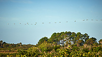 Line of American White Pelicans flying in a line. Early morning at Biolab Road in Merritt Island National Wildlife Refuge. Image taken with a Nikon D700 camera and 18-300mm VR lens (ISO 200, 300 mm, f/10, 1/400 sec).