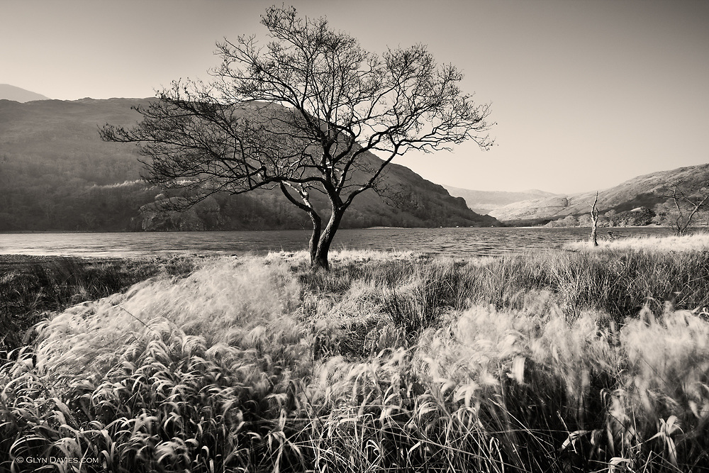 Wind blows through soft rushes surrounding isolated bare trees at the lakeside of Llyn Gwynant glacial lake in the wide valley of Nant Gwynant in the heart of Snowdonia, Wales. The lower foothills of Wales' highest mountain, Yr Wyddfa (Snowdon) can be seen on the far side of the lake.