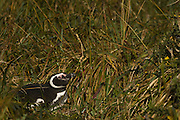 Magellanic Penguin (Spheniscus magellanicus)<br /> West Point Island. Off north coast of West Falkland. FALKLAND ISLANDS.<br /> RANGE: Juan Fernandez Island in Pacific, Islands along coast of Southern Chile to islands off Cape Horn, South Atlantic coast of Argentina up to Valdez Peninsula and Falkland Islands.<br /> These penguins are migrants and breed in the Falklands. They are fairly widely distributed in the Falklands. They nest in burrows beneath tussock pedestals. Breeding begins mid October. Incubation is 38-41 days and young are fully moulted by late January. Adults will vacate the site after their moult in March. They feed extensively on schooling fish and squid.
