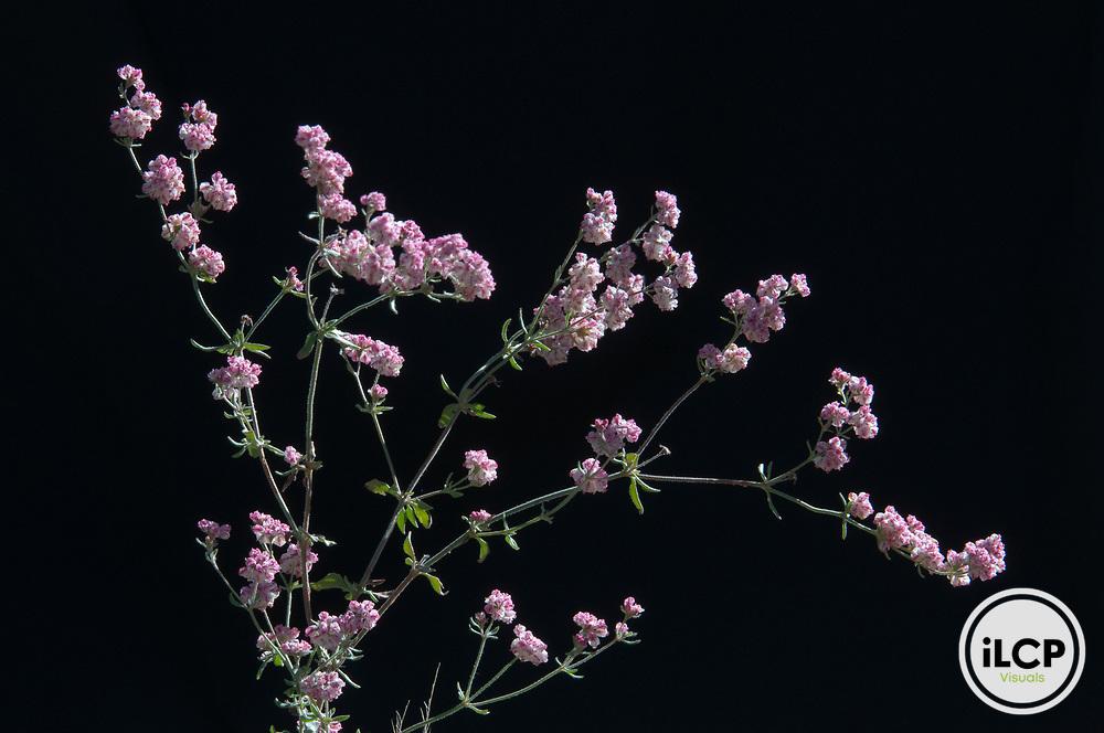 Abert's wild buckwheat (Eriogonum abertianum).