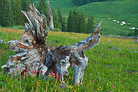 Scarlet Paint Brush and a old tree stump on Shrine Pass.  Colorado.
