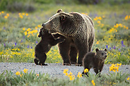 0641 Playtime with Momma - Grizzly Bear - Grand Teton National Park, WY
