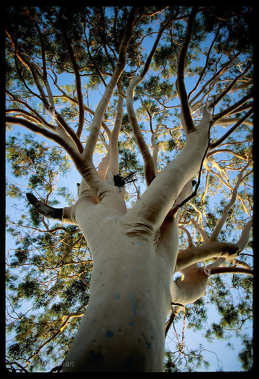 Top of lemon-scented gum tree catches sunset's last rays on a summer eve in Wagga Wagga, NSW. Australia