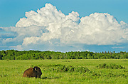 Plains bison (Bison bison bison) on Fescue prairie with thunderhead clouds <br /> Riding Mountain National Park<br /> Manitoba<br /> Canada