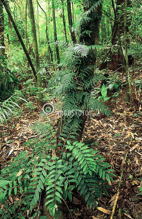 Samambaia, trepadeira e serrapilheira de folhas velhas no solo / climbing pteridophyta and mulsh soil - 2004