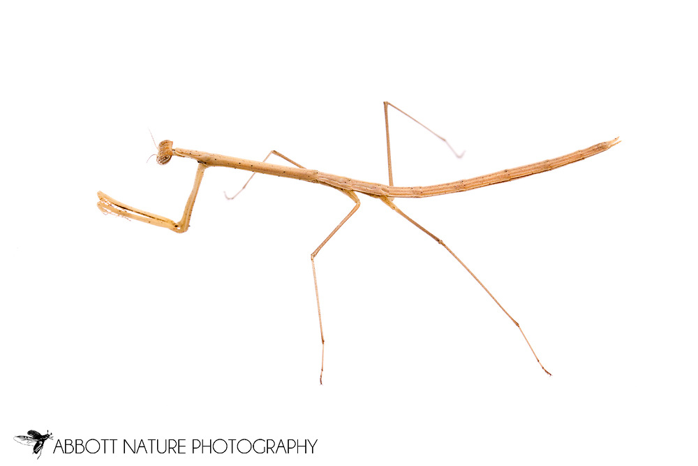 Grass-like Mantid (Thesprotia graminis) - female<br /> TEXAS: Montgomery Co.<br /> Montgomery<br /> 6-Nov-2012<br /> J.C. Abbott