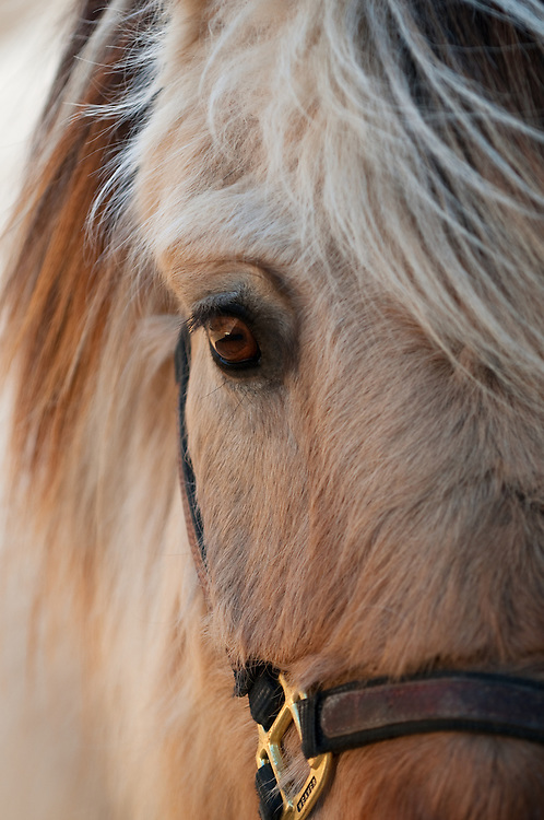 Close up portrait of a horse's head with a thick winter coat.