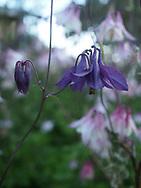 Purple flowers in Iceland.