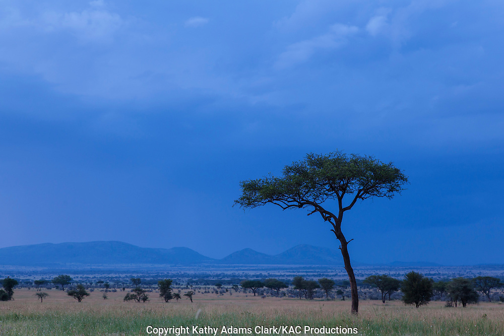 Acacia tree, on the Serengeti grasslands, Tanzania, Africa.