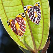 Moths, Kinabalu Summit Trail, Kinabalu National Park, Borneo, Malaysia.