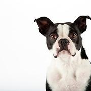 20110202Boston Terriers