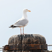 UK weather: Seagull at Brighton Pier in UK on July 27 2018.