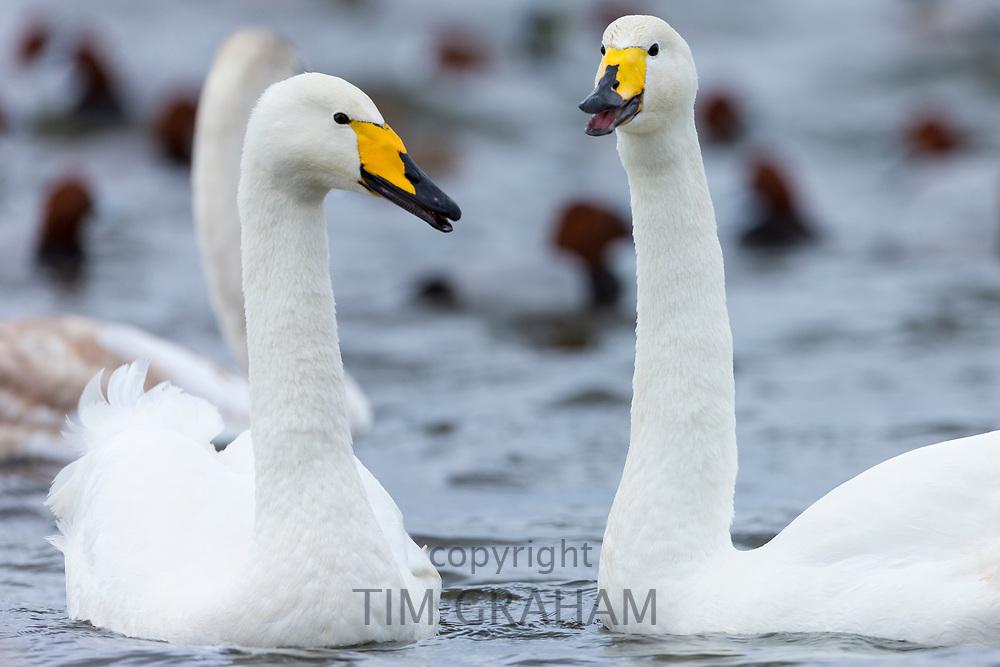 Pair of Whooper Swan, Cygnus cygnus, at Welney Wetland Centre, Norfolk, UK