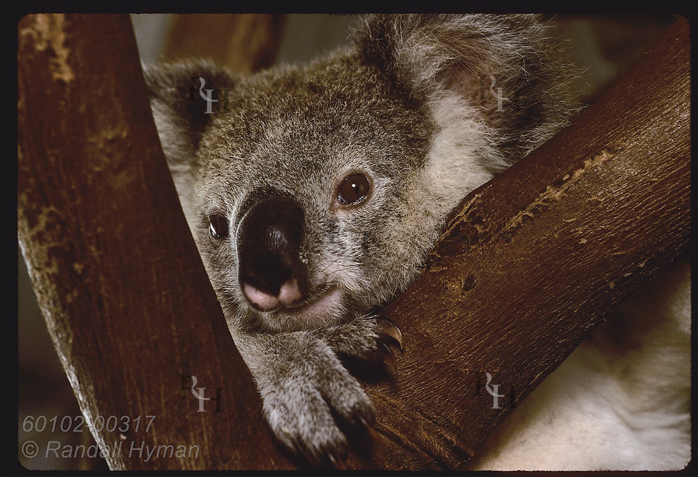 Orphaned 9-month-old koala rests chin in fork of tree in his cage @ Eprapah rehab center; Brisbane Australia