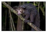 Aye-Aye in its natural habitat in Madagascar. Nikon D5, 70-200mm @ 100mm, f2.8, 1/80 sec, I(SO5000, manual modus.