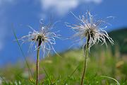 Spring pasqueflower (Pulsilla alpina)  High Tauern National Park (Nationalpark Hohe Tauern), Central Eastern Alps, Austria | Alpen-Kuhschelle (Pulsatilla alpina, Syn.: Anemone alpina), Alpen-Küchenschelle. Nationalpark Hohe Tauern, Österreich Nationalpark Hohe Tauern, Osttirol in Österreich