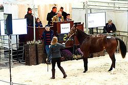 © Licensed to London News Pictures. 21/10/2019. Llanelwedd, Powys, Wales, UK. Bidding starts at 11.00am for the 30th Standardbred Sale. The Standardbred horse sale is held by Brightwell auctioneers at the Royal Welsh Showground, Llanelwedd in Powys, UK. and is for the property of members of The Standardbred & Trotting Horse Association of Great Britain & Ireland (STAGBI) of stock fully registered with them (or for registered stock of an internationally approved registry). Photo credit: Graham M. Lawrence/LNP
