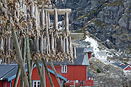 Stockfish hanging to dry during winter, in the village of A, Lofoten Islands, Arctic Norway