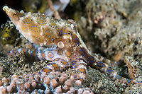 Blue-Ringed Octopus shows its colorful warning<br /> <br /> Shot in Indonesia