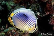 redfin butterflyfish, Chaetodon trifasciatus, night coloration, Helengeli, Maldives ( Indian Ocean )