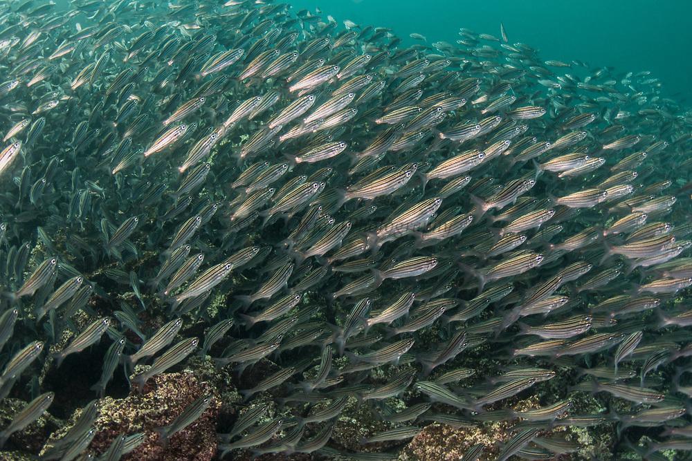 Black-striped salema (Xenocys jessiae)<br /> Tower Island<br /> Galapagos Islands<br /> Ecuador<br /> Pacific Ocean<br /> South America<br /> IUCN STATUS: Vulnerable