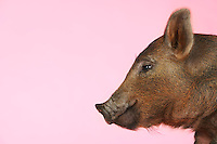 Brown pig against pink background side view of head