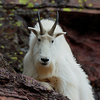 mountain goat billy  rocks, mountain goat billy close up