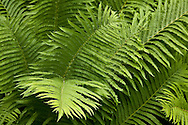 The soft light drew me to photograph these garden ferns.