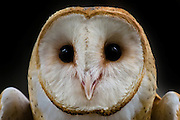 Barn owl portrait, showing delicate hair-like facial feathers known as vibrissae.  Vibrissae are extremely touch-sensitive and serve to enhance nocturnal birds' senses in the dark.