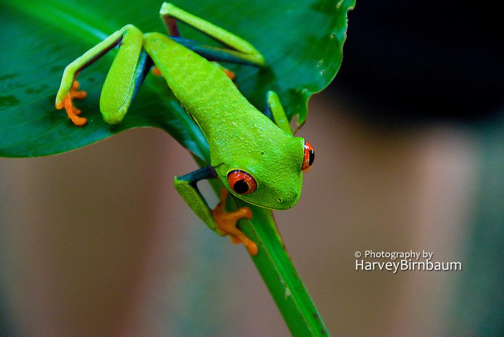 Costa Rica 1-14_23-09 Tortuguero National Park - Red Eyed Leaf Frog