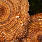 A Polypore (Polyporaceae) species fungi in Thailand.