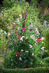Sweet peas growing up a rustic wigwam plant support. Lathyrus odoratus