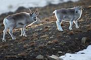 Svalbard Reindeers at Adventsdalen, Longyearbyen, Spitzbergen September 2013 | Svalbardrein i Adventsdalen, Longyearbyen under et besøk på Svalbard September 2013.