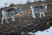 Svalbard Reindeers at Adventsdalen, Longyearbyen, Spitzbergen September 2013 | Svalbardrein i Adventsdalen, Longyearbyen under et besøk på Svalbard September 2013.