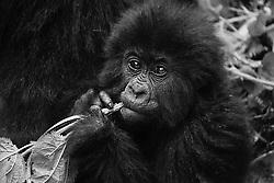 A black and white portrait of an infant mountain gorilla (Gorilla beringei beringei) playing with the vegetation, Park de Volcanoes ,Rwanda