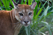 Puma (Puma concolor)<br /> Georgetown zoo<br /> GUYANA<br /> South America<br /> captive
