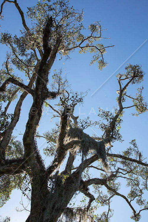 Cypress tree in The Everglades, Florida