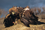 Golden Eagle Shrouding Rabbit prey.<br />