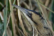 London - Wednesday, March 22, 2006: Close up of head and neck of a Great Bittern (Botaurus stellaris) at the London Wetland Centre. (Photo by Peter Horrell / www.peterhorrell.com)