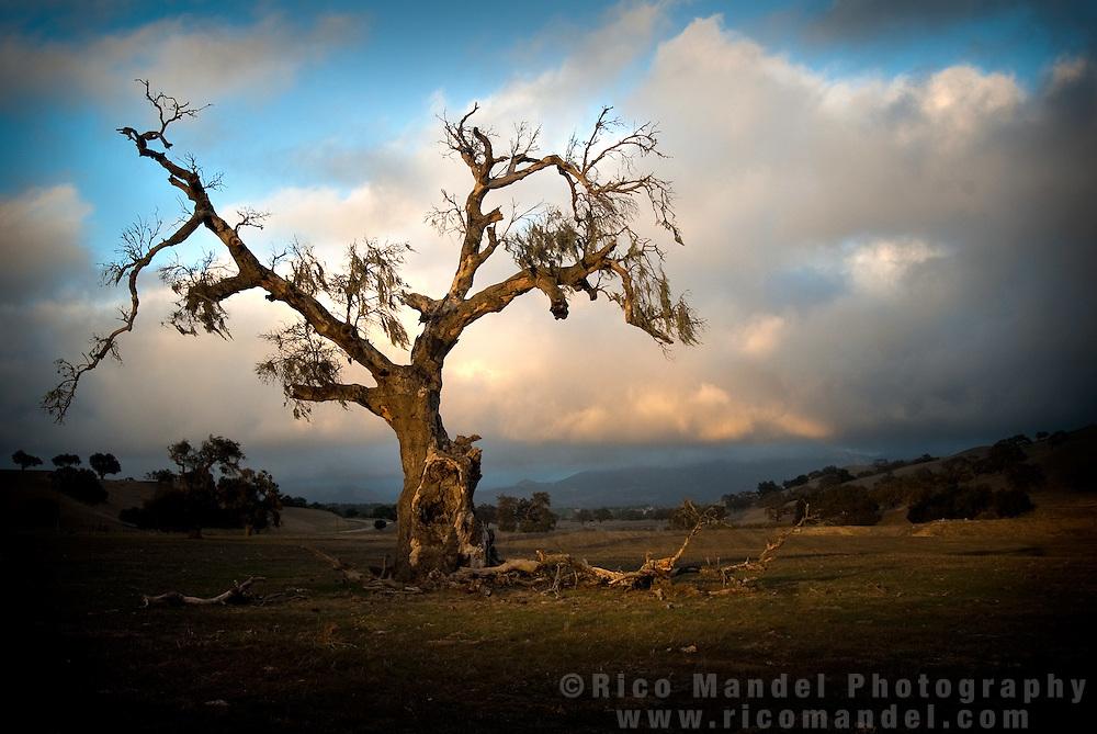 Old Oak, Santa Ynez Foxen Canyon