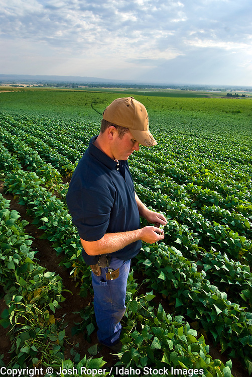 Idaho, Gooding. A beautiful green field of soybeans on a summer morning with a farmer inspecting the crops.